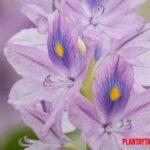 Jacinto de agua: Características y cuidados de esta planta invasora